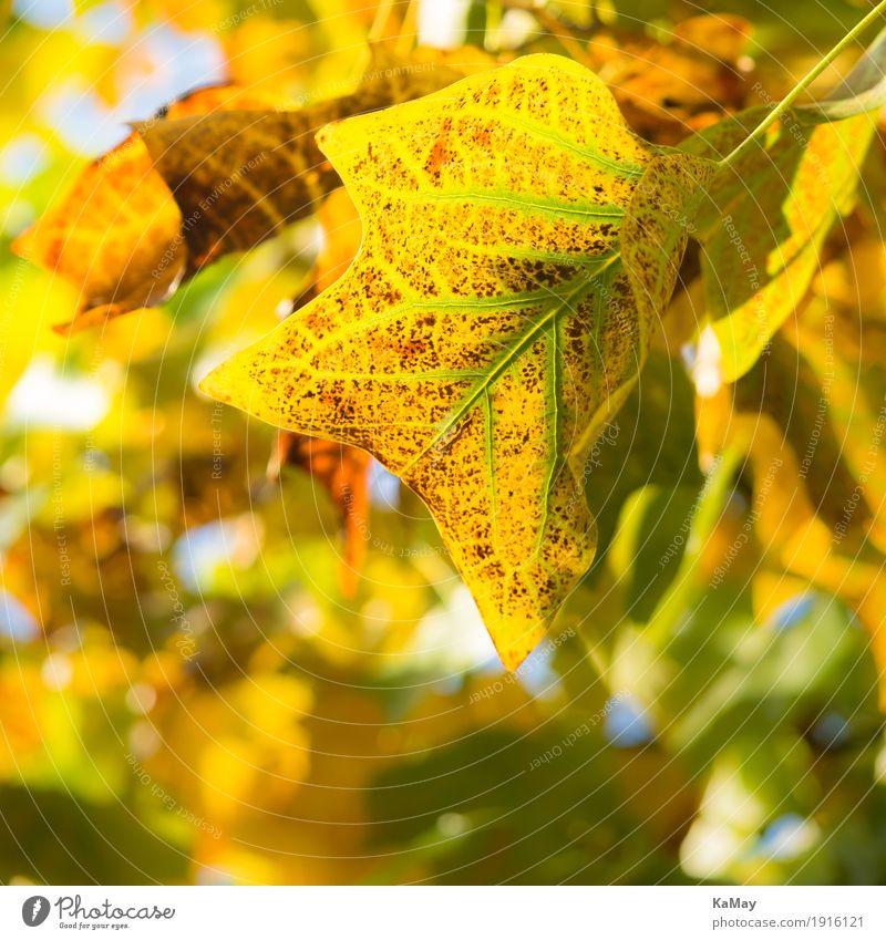 Herbstleuchten Natur Pflanze Baum Blatt natürlich braun gelb grün ästhetisch Verfall Vergänglichkeit Herbstlaub leuchtende Farben Stimmung Farbfoto Muster Abend