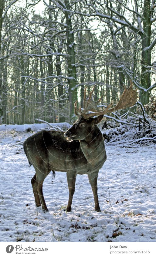 Auf der Hut! Baum Winter Tier Wald Schnee Gras Park beobachten wild Zoo Wildtier Wachsamkeit Horn Stolz Hirsche Rentier