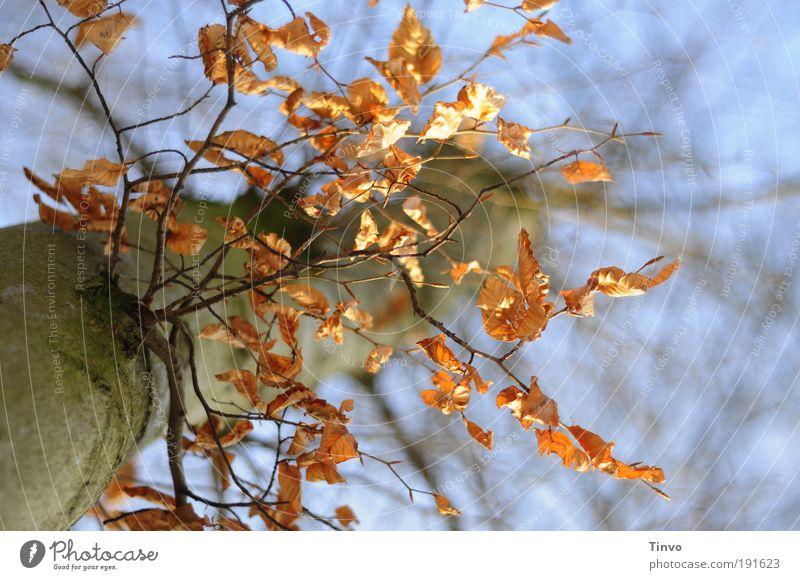 Ansichten eines Baums Natur Baum Blatt Winter Herbst Park Perspektive trocken Zweige u. Äste Buche dehydrieren Pflanze Buchenblatt