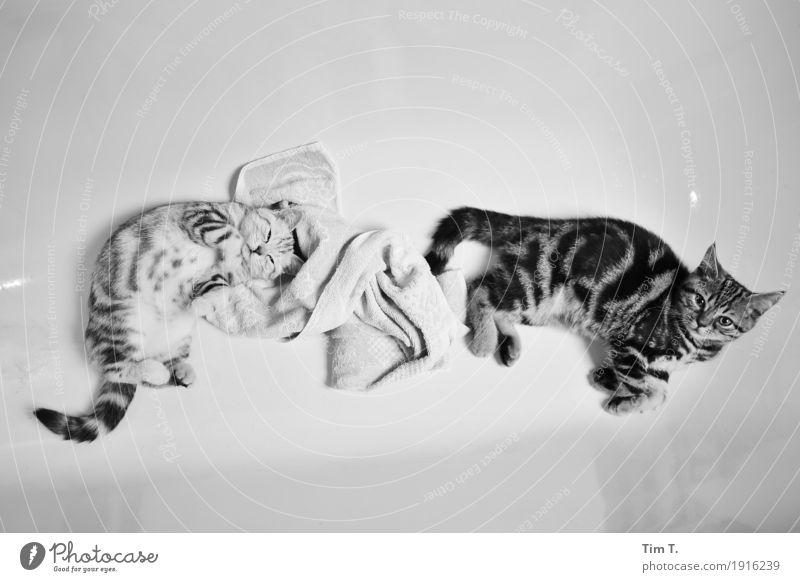 Waschtag Tier Haustier Katze 2 Tierpaar Tierjunges Tierfamilie Wellness Innenaufnahme Menschenleer Textfreiraum oben Textfreiraum unten Abend Kunstlicht
