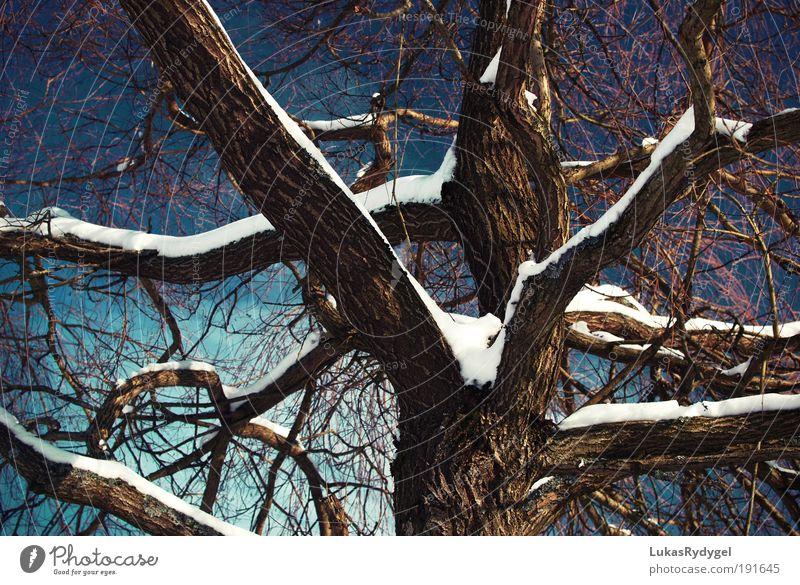Durchzogen Umwelt Natur Pflanze Luft Wasser Himmel Winter Schnee Baum alt frieren Coolness dunkel blau braun weiß ruhig Traurigkeit Tod Zufriedenheit kalt Kraft