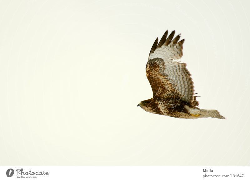 Überleben Umwelt Natur Tier Luft Himmel Wildtier Vogel Flügel Mäusebussard 1 fliegen ästhetisch frei Unendlichkeit natürlich Kraft elegant Freiheit Leben