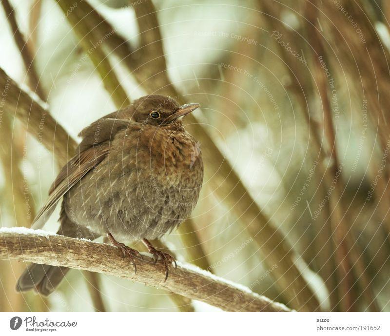 Federball Natur Pflanze Tier Winter Umwelt kalt klein Vogel braun natürlich außergewöhnlich Wildtier sitzen warten Feder ästhetisch