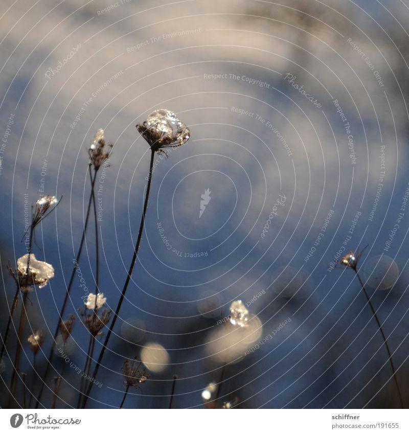 Glitzerkrone Natur Pflanze Sonnenlicht Winter Eis Frost Schnee Gras Sträucher Feld glänzend leuchten außergewöhnlich kalt Hoffnung Schmuck Halm schön