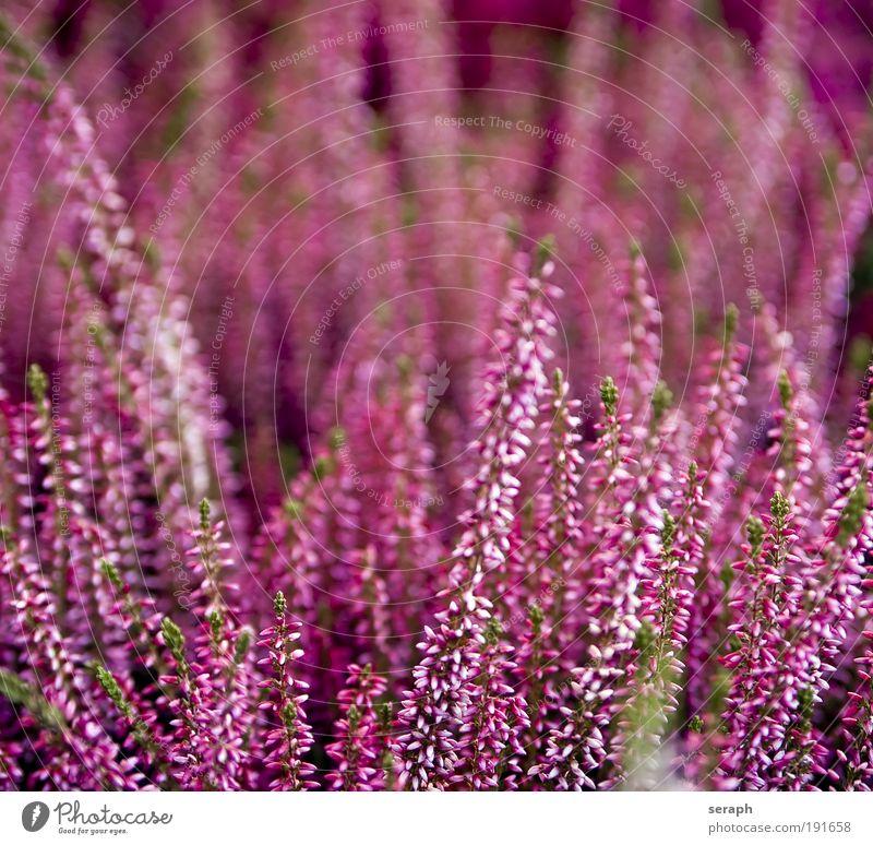 Pink heath Bergheide Jahreszeiten Saison background plants pflanzlich Biologie ökologisch Natur stem Blume perennial purple pink detail blooms flora Kontrast