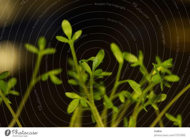 Kresse Natur Pflanze Frühling Ernährung Freundlichkeit genießen Kräuter & Gewürze Appetit & Hunger Lebensfreude Bioprodukte Lust Fasten saftig Nutzpflanze