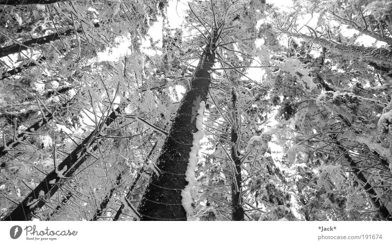 Zauberwald Zufriedenheit Erholung Winter Schnee Berge u. Gebirge Umwelt Natur Landschaft Pflanze Baum Wald beobachten Blick alt gigantisch weiß Kraft Einsamkeit