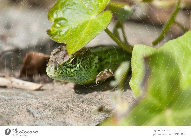 ~ Orientierung ~ Umwelt Natur Pflanze Tier Sommer Schönes Wetter Efeu Grünpflanze Garten Mauer Wand Wildtier Tiergesicht Schuppen Krallen beobachten Bewegung