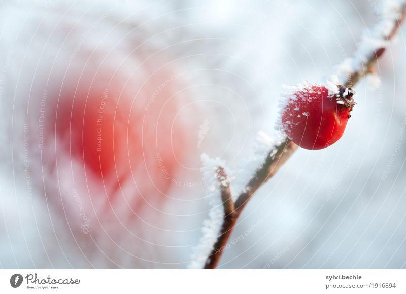 frostige Frucht Getränk Tee Umwelt Natur Pflanze Urelemente Wasser Winter Klima Klimawandel Wetter Eis Frost Schnee Sträucher Nutzpflanze Wildpflanze Gesundheit