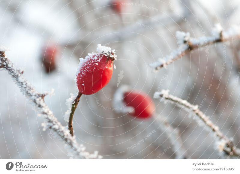 frostige Frucht II Getränk Tee Umwelt Natur Pflanze Urelemente Wasser Winter Klima Klimawandel Wetter Eis Frost Schnee Sträucher Nutzpflanze Wildpflanze