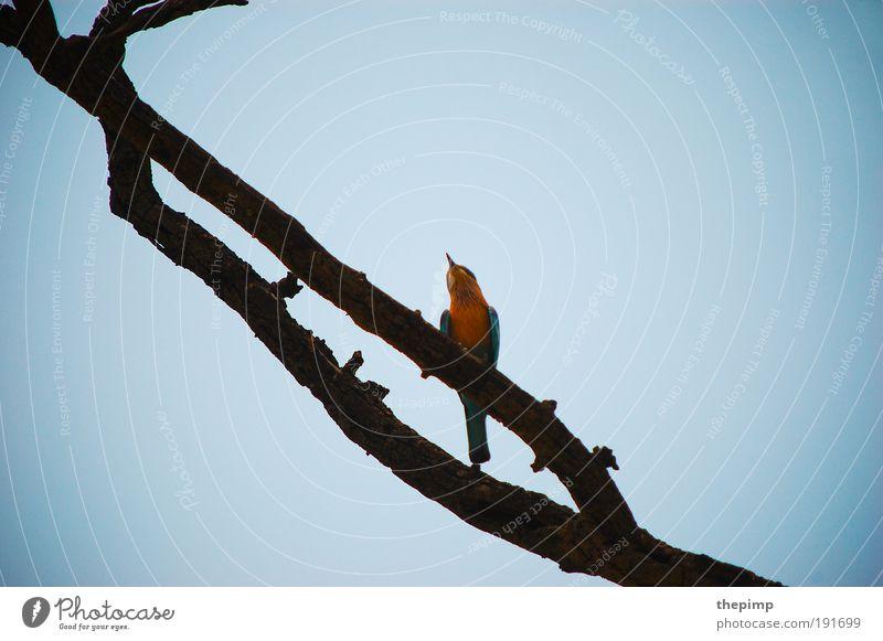 Kingfisher Ferien & Urlaub & Reisen Ferne Freiheit Tier Wolkenloser Himmel Vogel 1 Holz blau gelb Asien Indien Farbfoto Außenaufnahme Textfreiraum links