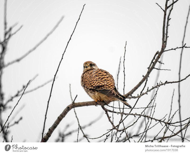 Greifvogel im Baum Himmel Natur Pflanze Tier Umwelt gelb natürlich Vogel fliegen oben orange frei elegant Wildtier sitzen