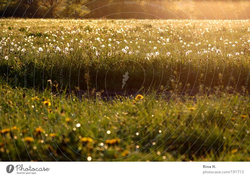 PusteBlumenWiese Umwelt Natur Landschaft Pflanze Sonnenlicht Frühling Feld Blühend leuchten authentisch gelb gold grün Gefühle Glück Zufriedenheit Lebensfreude