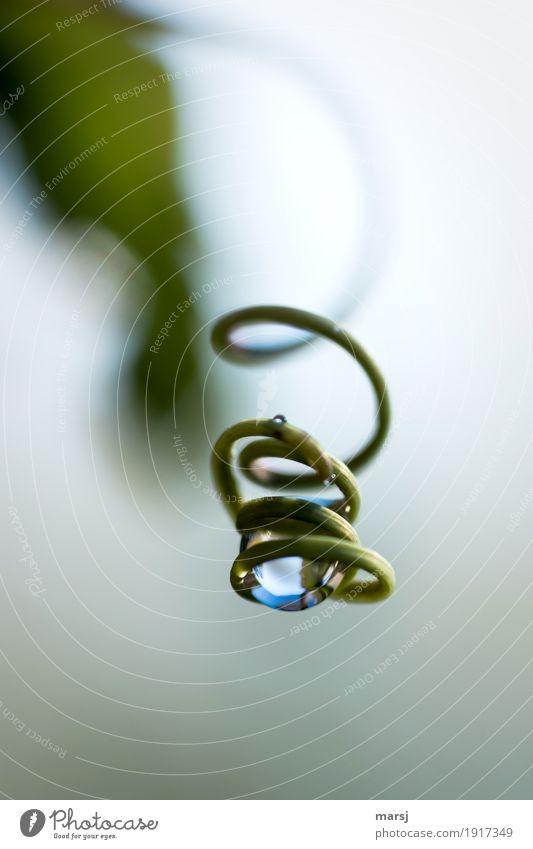 Gut abgehangen, dieser Wassertropfen Leben harmonisch Zufriedenheit Natur Pflanze Sproßranke Ranke Spirale drehen hängen dünn authentisch einfach glänzend kalt