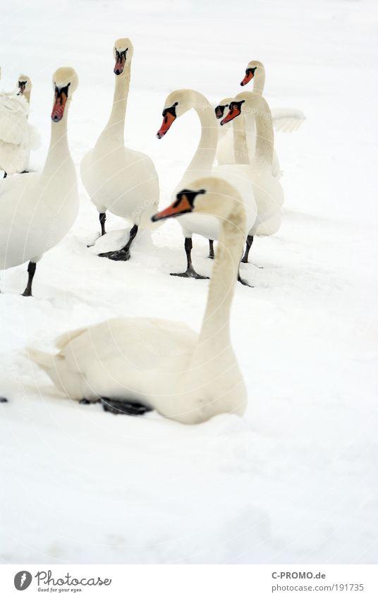 Weiß, wo man hinsieht weiß... Eis Frost Schnee Schwan Flügel Tiergruppe Herde Schwarm Erholung sitzen Reinheit Appetit & Hunger Fernweh Farbfoto Gedeckte Farben