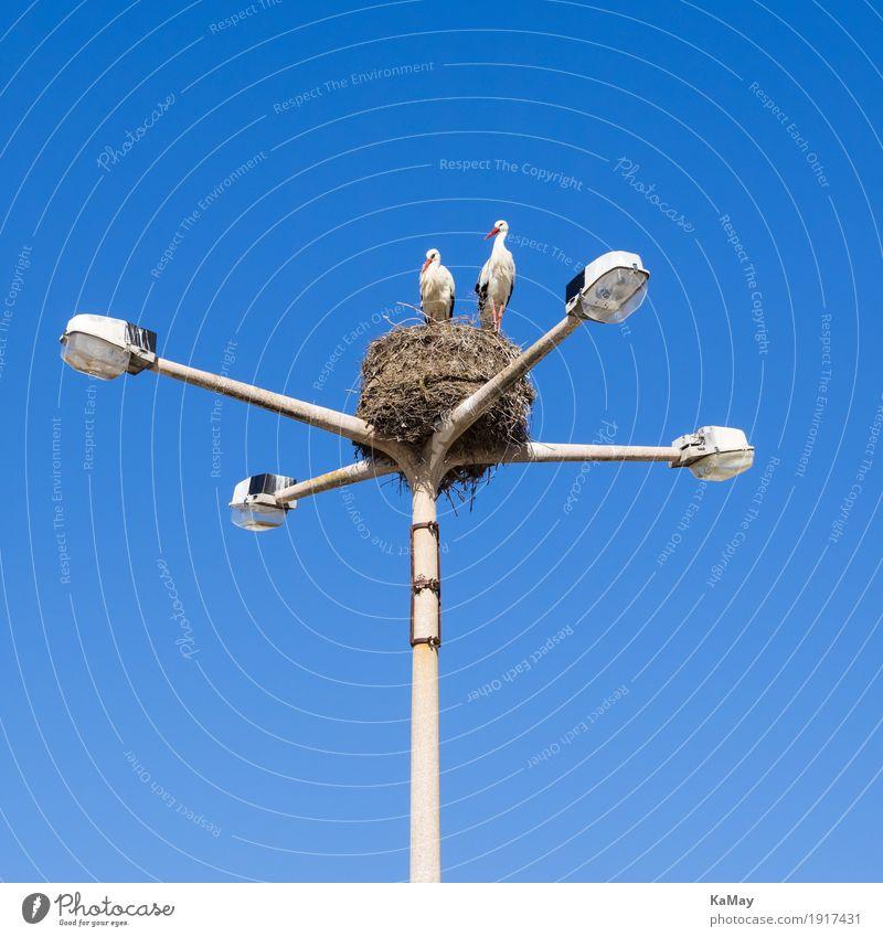 Ganz weit oben mit Beleuchtung Umwelt Faro Portugal Straßenlampe Straßenbeleuchtung Tier Wildtier Vogel Weißstorch Storch 2 Sicherheit Nestbau nisten blau