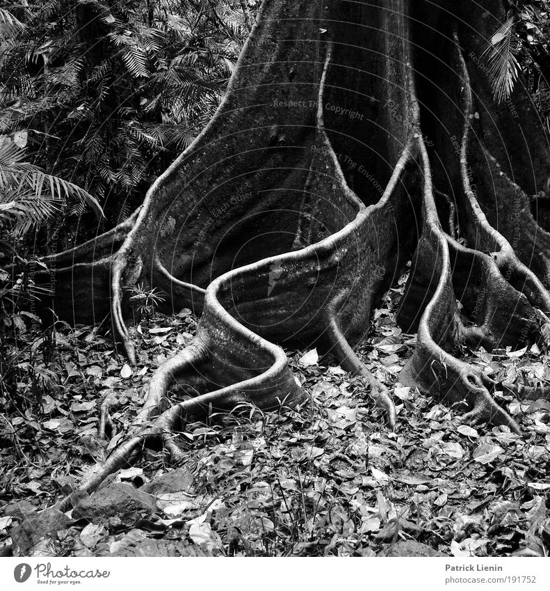 buttress roots Natur alt schön Baum Blatt Umwelt Regen Linie elegant Australien Wald feucht Baumstamm Urwald Strukturen & Formen Wurzel