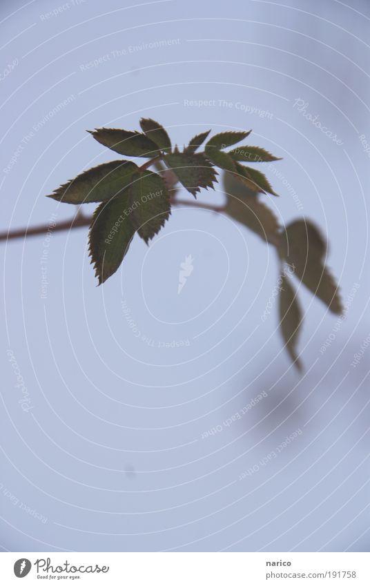 minimal survival chance Winter Schnee Natur Pflanze Sträucher Rose Blatt Wildpflanze frieren Wachstum authentisch elegant klein wild grün weiß Frühlingsgefühle