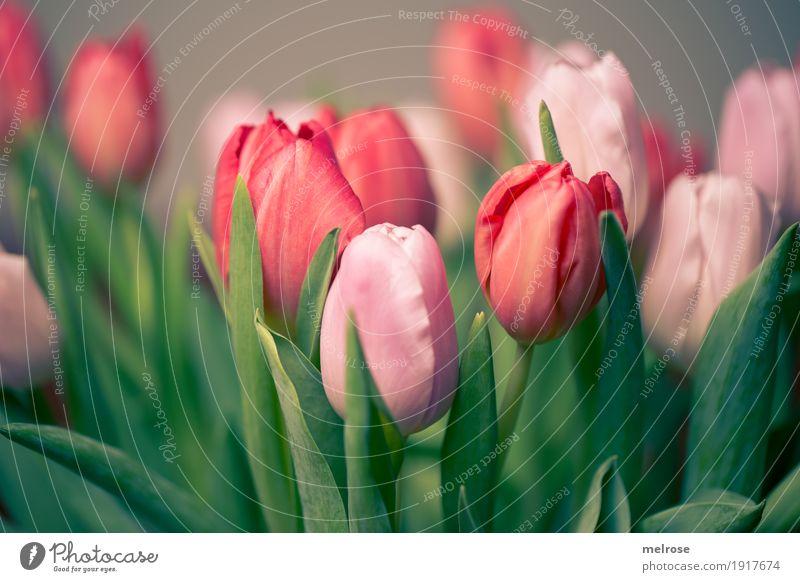 Tulpenstrauß rosa_rot Valentinstag Muttertag Geburtstag Frühling Pflanze Blume Blatt Blüte Nutzpflanze Tulpenstrauss Tulpenblüte Frühblüher Frühlingsfarbe
