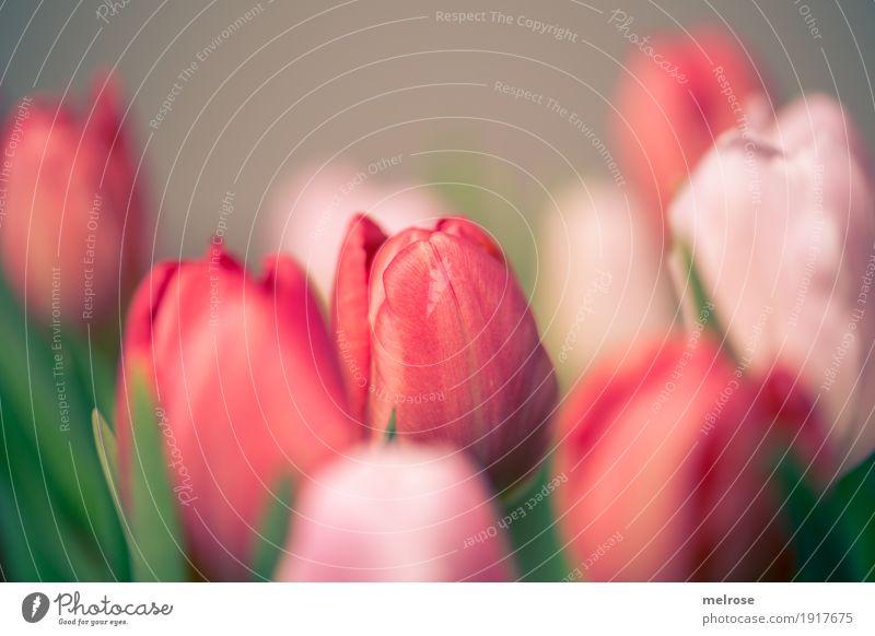 Tulpenstrauß rosa_rot II Frühling Pflanze Blume Blüte Wildpflanze Blumenstrauß Frühlingsstrauß Tulpenblüte Knollengewächse Frühblüher Blatt Blütenkelch mehrere