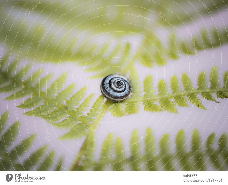 gefiedert Natur Pflanze Tier Farn Blatt Schnecke Schneckenhaus liegen grau grün Design Einsamkeit einzigartig Mittelpunkt Pause ruhig filigran zartes Grün fein