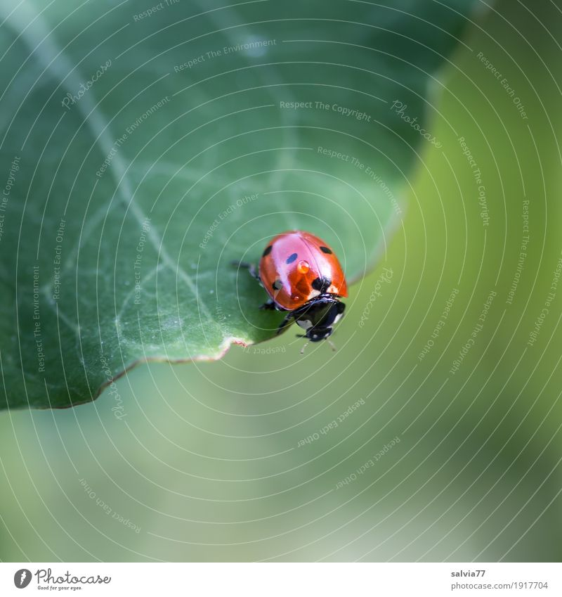 Blick nach unten Natur Pflanze Tier Sommer Blatt Garten Käfer Siebenpunkt-Marienkäfer Insekt 1 krabbeln frech frei frisch klein niedlich oben sportlich grau