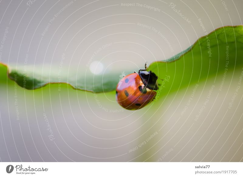 Gratwanderung Natur Pflanze Tier Frühling Sommer Blatt Garten Käfer Marienkäfer Siebenpunkt-Marienkäfer Insekt 1 krabbeln grau grün rot Frühlingsgefühle Glück