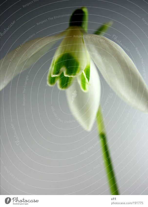 Frühlingsgefühl Umwelt Natur Pflanze Blume Blüte Park Wiese ästhetisch elegant Frühlingsgefühle Vorfreude Optimismus Kraft schön Hoffnung Schneeglöckchen grün