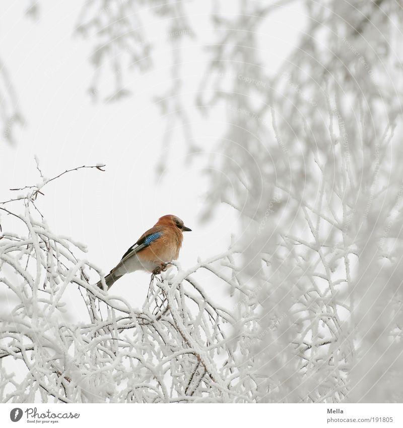 Schlecht getarnt Umwelt Natur Pflanze Tier Winter Klima Klimawandel Wetter Eis Frost Schnee Baum Ast Wildtier Vogel Eichelhäher 1 hocken sitzen frei hell
