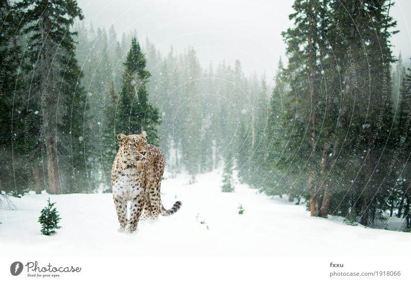 Persischer Leopard im Schnee exotisch Abenteuer Winter Natur Landschaft Klima Klimawandel Schneefall Wald Tier Wildtier Katze 1 stehen frei grün weiß Farbfoto