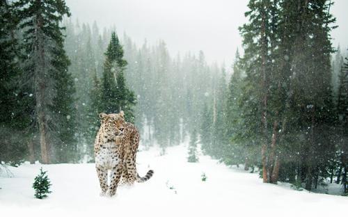 Persischer Leopard im Schnee Katze Natur grün weiß Landschaft Tier Winter Wald Schneefall frei Wildtier stehen Klima Abenteuer exotisch