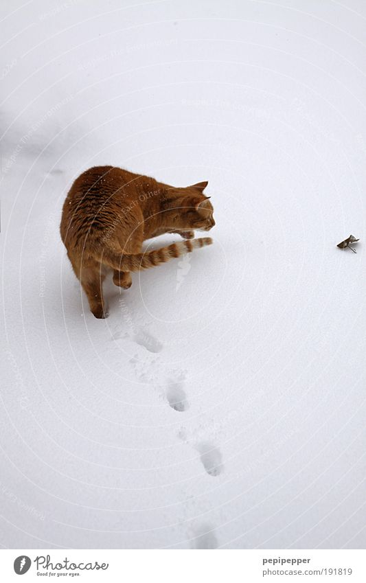 vom Weg abkommen Spielen Jagd Winter Schnee Umwelt Erde Eis Frost Garten Park Tier Katze 1 beobachten drehen Fressen füttern Blick Tierliebe Wachsamkeit