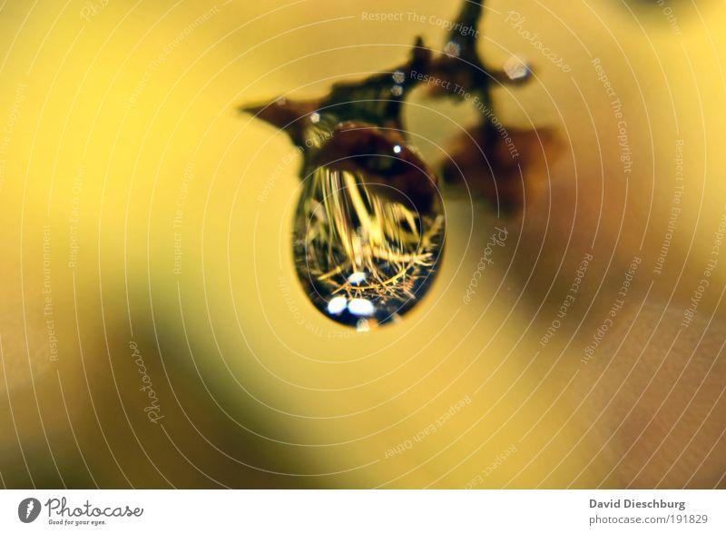 Perle der Natur Pflanze gelb Leben Herbst glänzend Wassertropfen einzeln nass Tropfen Tau silber feucht Spiegelbild Wasserspiegelung
