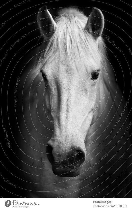 """Das Schwarzweiss-Porträt des weißen Pferds. Nutztier 1 Tier Natur """"Pferd"""". """"Porträt"""". """"Schön"""". heimisch """"Farm"""". Kopf Nüstern Mähne Bauernhof Haustier"""