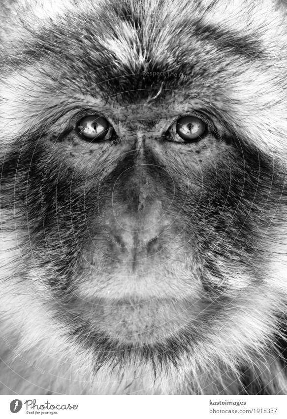 Schwarzweiss-Porträt eines Gibraltar-Berberaffenaffen Gesicht Natur Tier Urwald Pelzmantel klein wild schwarz weiß Angst Menschenaffen Hintergrund Berberei