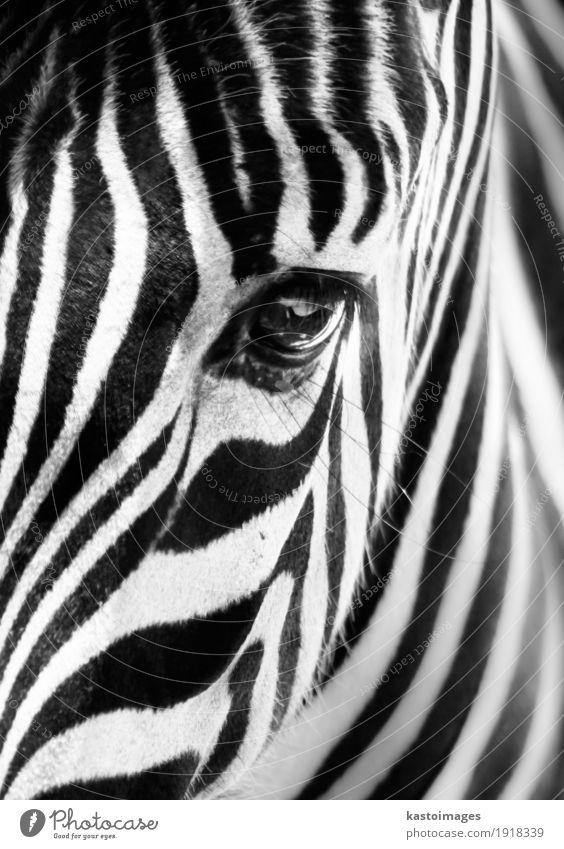 Porträt eines Zebras. Schwarz und weiß. schön Tier schwarz Gesicht klein hell wild Körper Wildtier Haut Streifen Afrika Zoo Säugetier gestreift