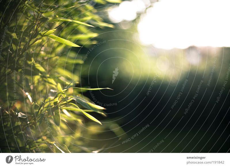 bambus Sommer Sonne Garten Schönes Wetter Pflanze Sträucher Grünpflanze Wildpflanze exotisch Park außergewöhnlich Wärme gelb gold grau Leben Frieden Idylle