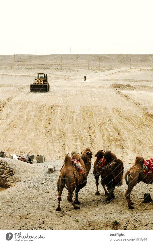 zweieinhalb kamele Straßenbau Umwelt Natur Erde Sand Wüste Verkehrswege Tier Nutztier Kamel 3 Tiergruppe warten exotisch Bagger Baufahrzeug Gobi China Farbfoto