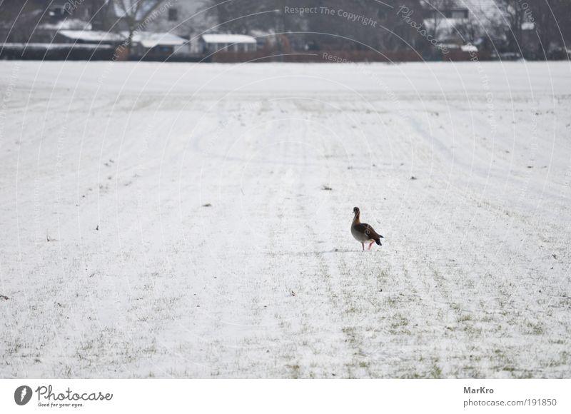 Ferne Natur Winter Einsamkeit Tier kalt Schnee Gras Landschaft Vogel Feld gehen laufen Dorf Bewegung