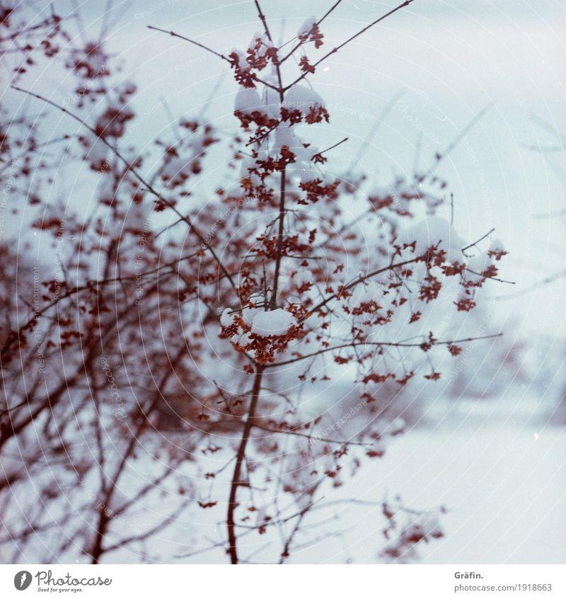 Winterfarben Umwelt Natur Pflanze Eis Frost Schnee Schneefall Sträucher Wildpflanze frieren kalt rot weiß rein Umweltschutz Vergänglichkeit Wandel & Veränderung