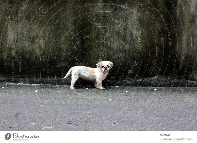 Hund vor Wand Tier Haustier Fell Neugier Traurigkeit Sehnsucht Einsamkeit Dog Hundeblick Farbfoto Außenaufnahme Tag Kontrast Straßenhund