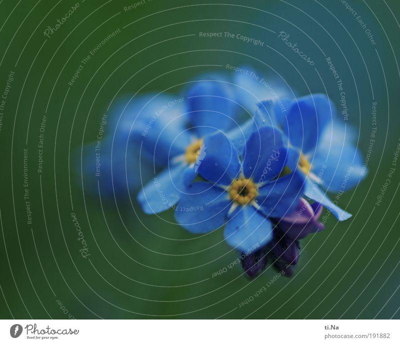 Vergess mich nicht Umwelt Natur Landschaft Tier Frühling Sommer Klima Schönes Wetter Pflanze Blüte Wildpflanze Vergißmeinnicht Park Wiese Feld Blühend Duft