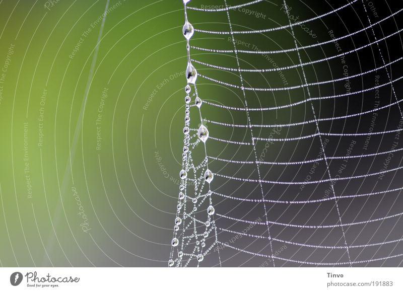 am seidenen Faden Natur grün Umwelt grau Wassertropfen Netzwerk zart Klettern fangen Tau Leiter Spinnennetz Fangnetz abstrakt aufgereiht