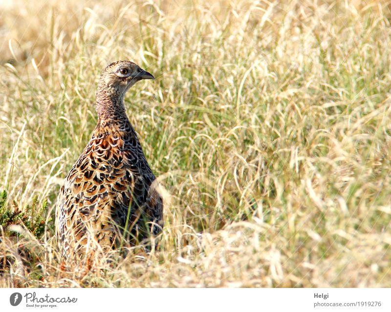 prima Klima | auf der Insel Ferien & Urlaub & Reisen Sommer Umwelt Natur Landschaft Pflanze Tier Schönes Wetter Wärme Gras Spiekeroog Wildtier Vogel Fasan 1