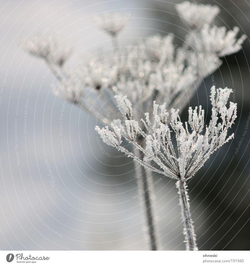 Mr. and Mrs. Frost Umwelt Natur Pflanze Winter Klima Wetter Eis Sträucher kalt gefroren Raureif Gedeckte Farben Außenaufnahme Menschenleer Tag