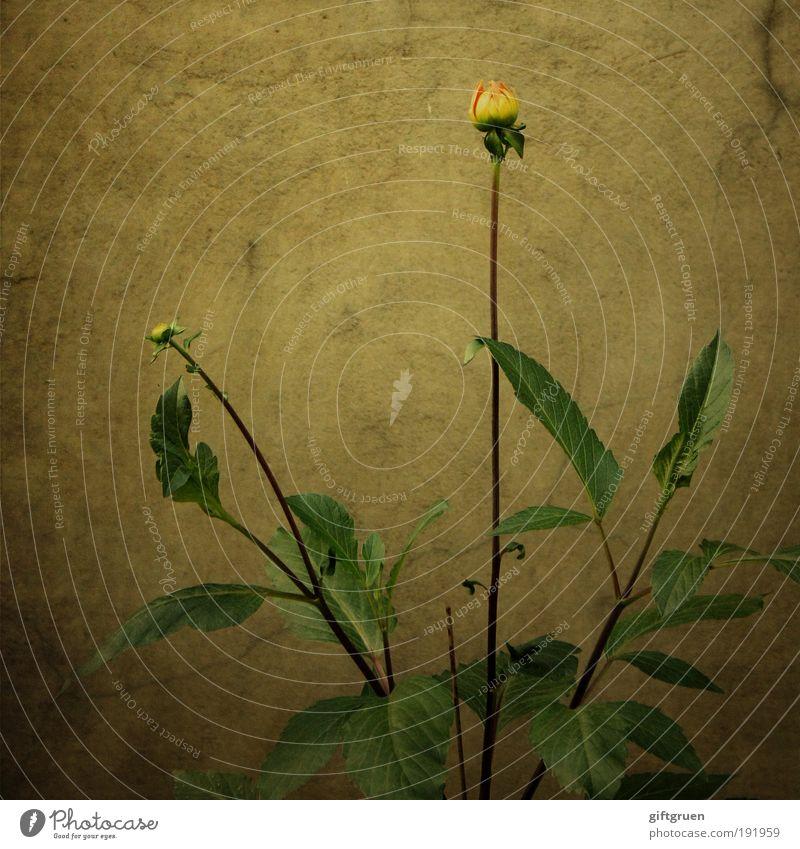 overlooked but not forgotten Natur schön alt Blume Pflanze Blatt gelb dunkel Wand Blüte Mauer trist einfach Blühend Botanik vergessen