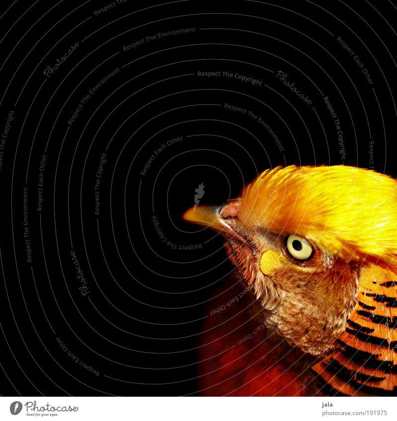 Gold-Fasan Wildtier Vogel Zoo verrückt mehrfarbig Feder schwarz Farbfoto Außenaufnahme Textfreiraum links Textfreiraum rechts Hintergrund neutral Tag