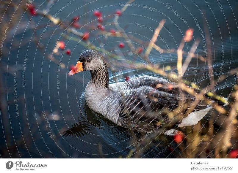 Graugans II Natur Pflanze Tier Wasser Winter Schönes Wetter Beeren Weissdorn Flussufer Vogel Gans 1 beobachten Schwimmen & Baden frisch schön blau braun grau