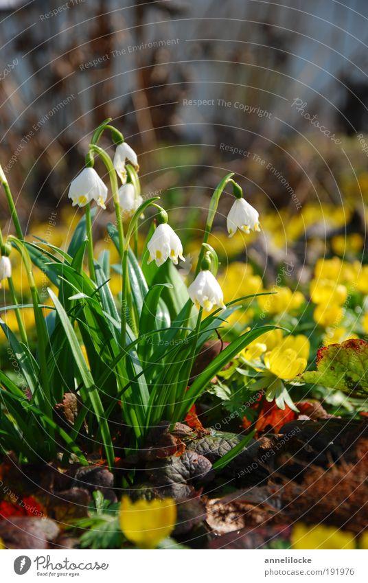 Frühling... Umwelt Natur Landschaft Pflanze Klima Schönes Wetter Blume Blatt Blüte Märzenbecher Winterlinge Garten Park Wiese Wachstum gelb grün Fröhlichkeit
