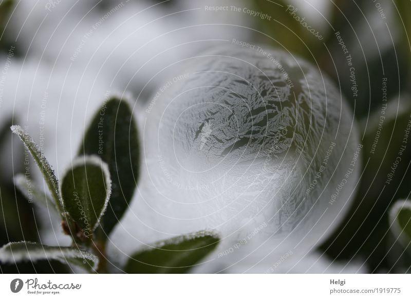 filigrane Eiskunst III Natur Pflanze grün schön weiß Winter Umwelt kalt Kunst Garten außergewöhnlich grau liegen ästhetisch Kreativität